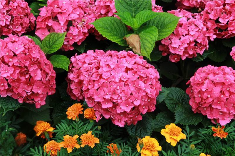 八仙花图片欣赏