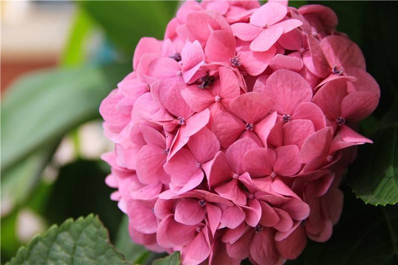 一簇八仙花