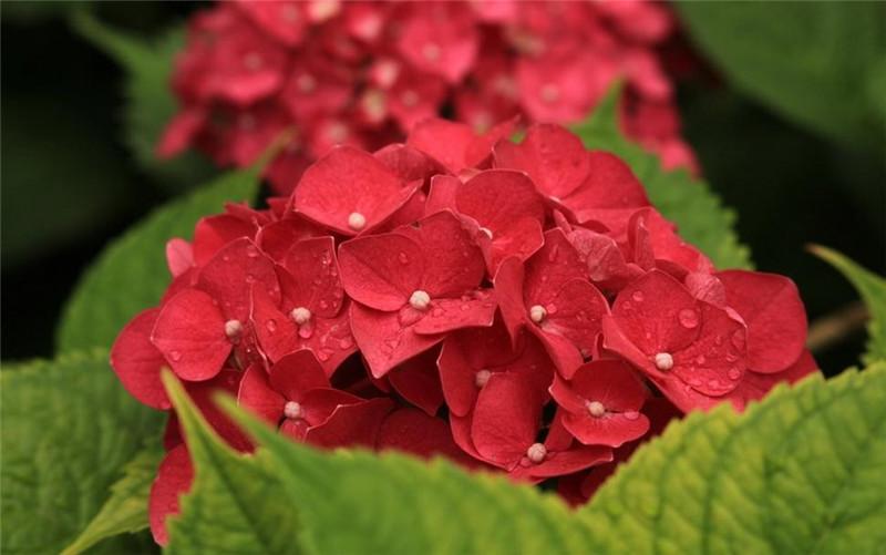 火红的八仙花