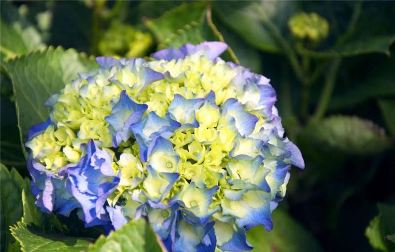 聚拢的八仙花