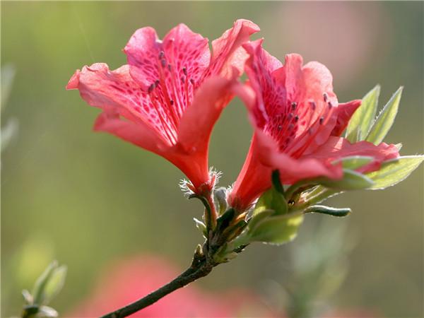 雨后杜鹃花