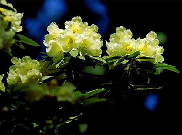 橙黄色杜鹃花