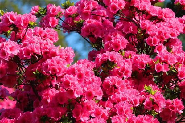 层层叠叠的杜鹃花