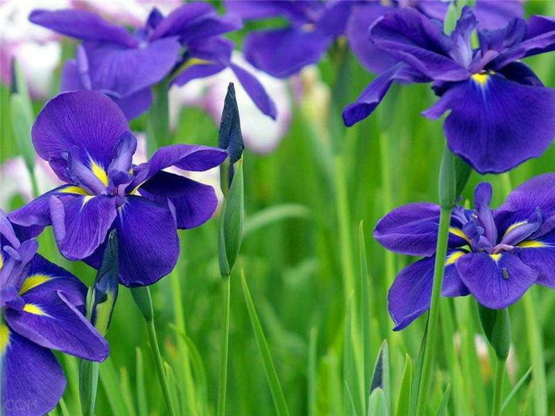 紫罗兰美图