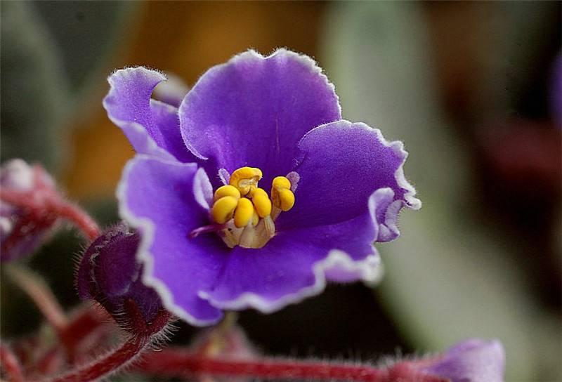 名花紫罗兰