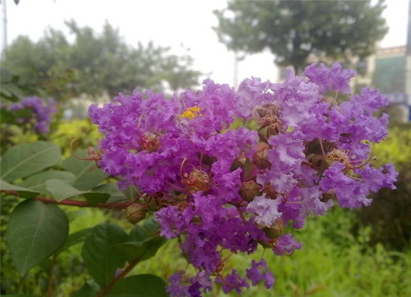 紫薇花图片欣赏