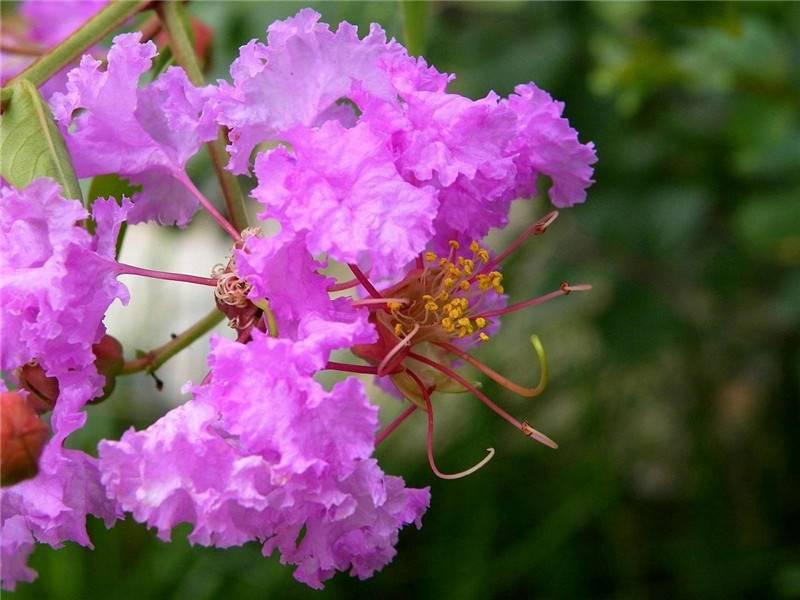 枝头紫薇花