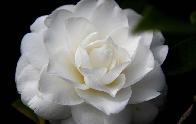 白色茶梅——花中仙子