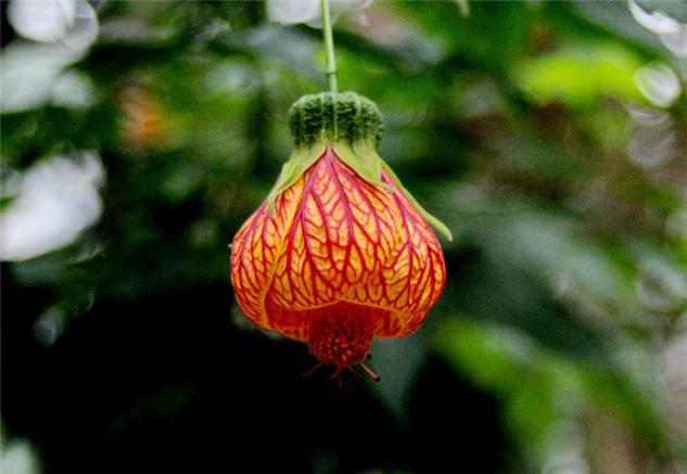 小小红灯笼——纹瓣悬铃