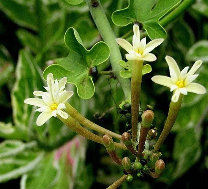 幻蝶蔓的花花