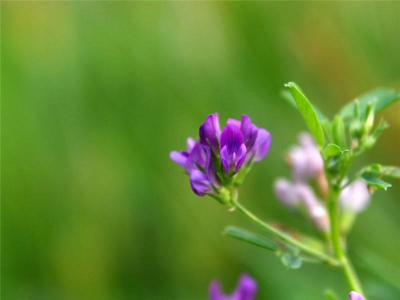 紫苜蓿美图欣赏