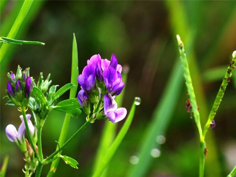 紫苜蓿图片欣赏