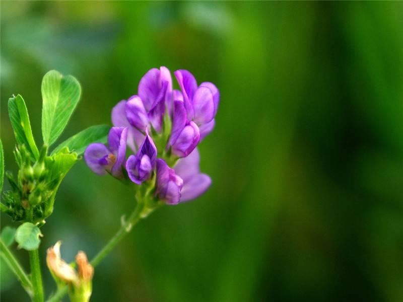 紫苜蓿图片