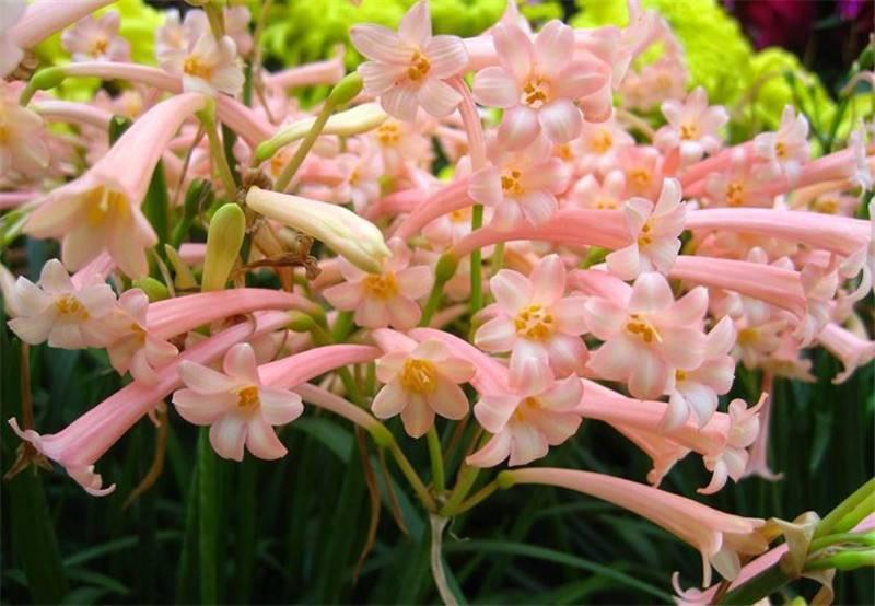 卷叶垂筒花美丽绽放