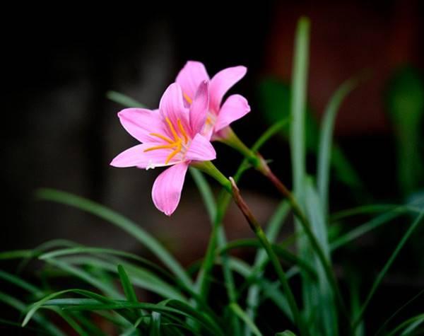 美丽的韭菜莲