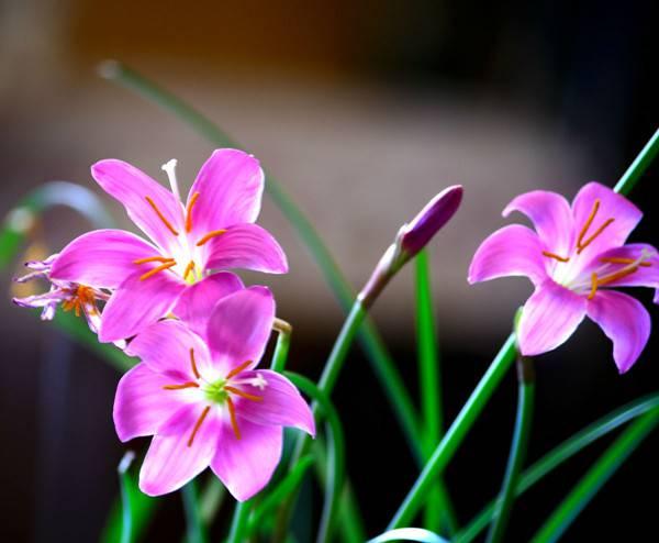 粉红佳人韭菜莲
