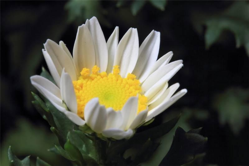 金玉菊花朵形态
