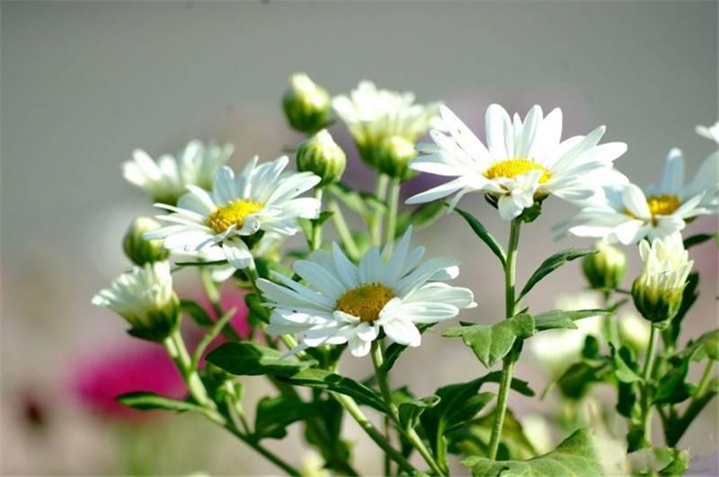 小清新地被菊