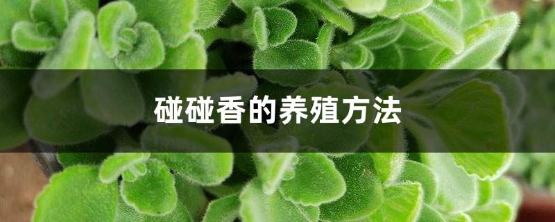 碰碰香的养殖方法