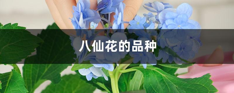八仙花的品种