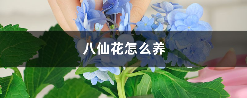 八仙花怎么养