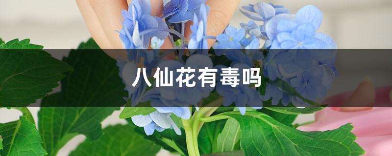 八仙花有毒吗