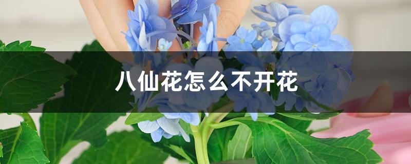 八仙花怎么不开花