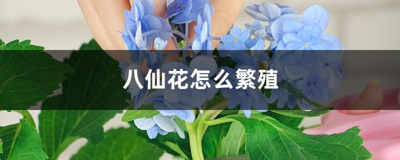 八仙花怎么繁殖