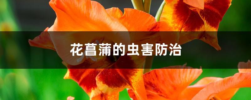 花菖蒲的虫害防治