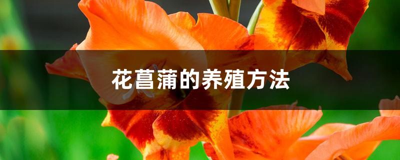 花菖蒲的日常养护方法详解