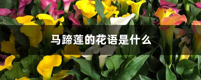 马蹄莲的花语是什么