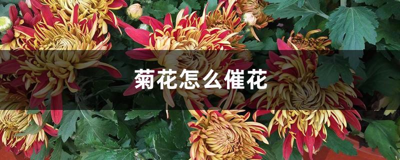 菊花怎么催花
