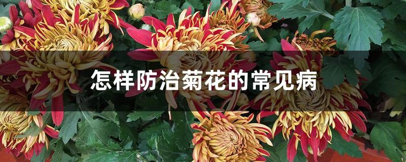 怎样防治菊花的常见病