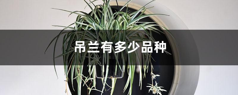 吊兰有多少品种