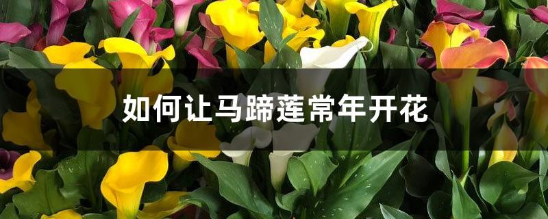 如何让马蹄莲常年开花