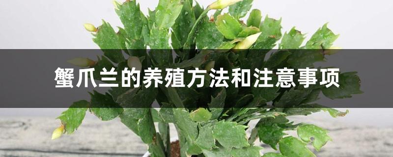 蟹爪兰的养殖方法和注意事项