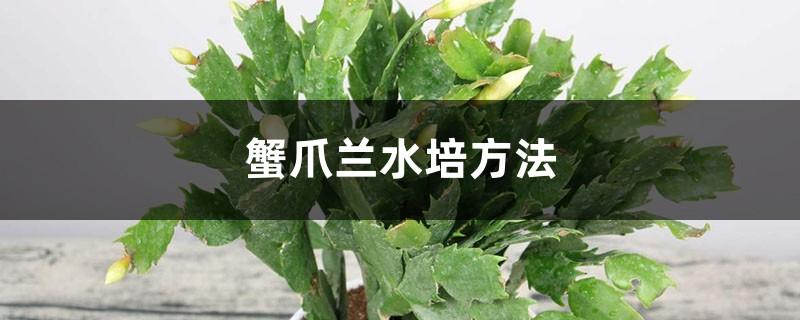 蟹爪兰水培方法