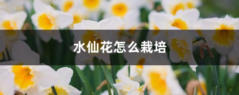 水仙花怎么栽培