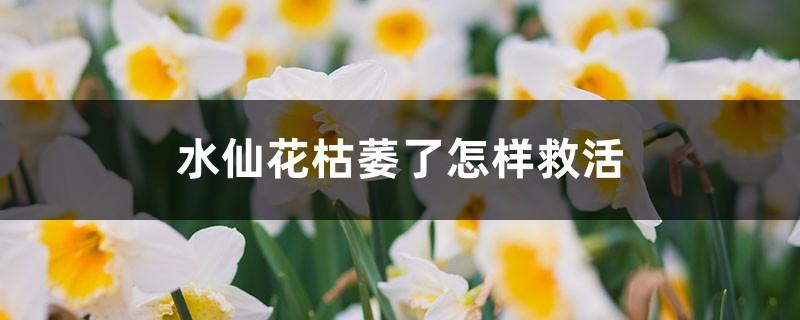 水仙花枯萎了怎样救活