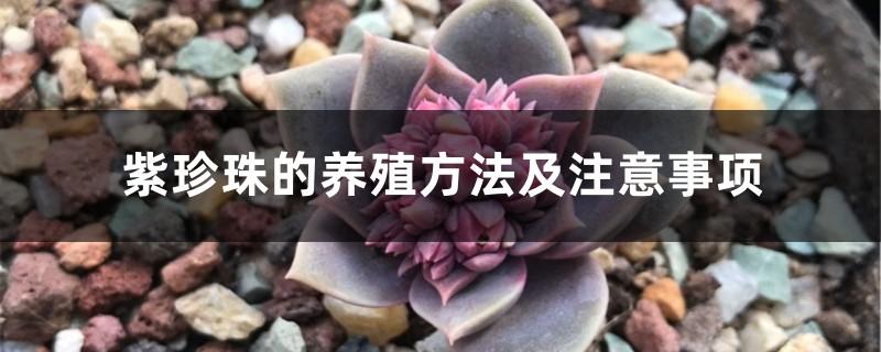 紫珍珠的养殖方法及注意事项