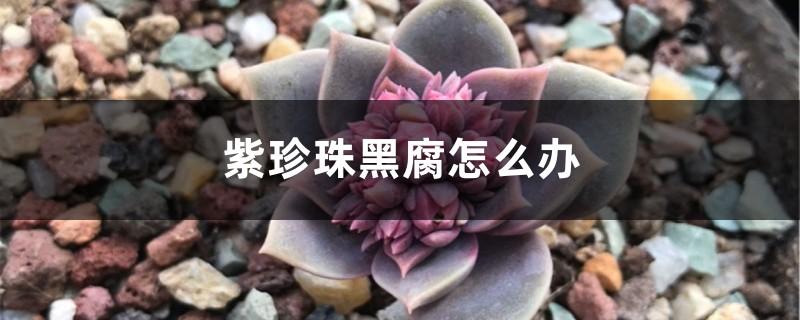 紫珍珠黑腐怎么办