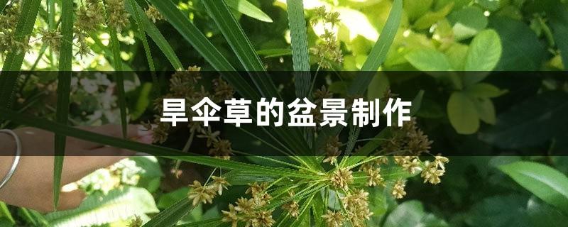 旱伞草的盆景制作