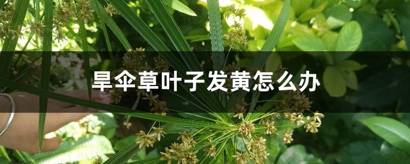 旱伞草叶子发黄怎么办