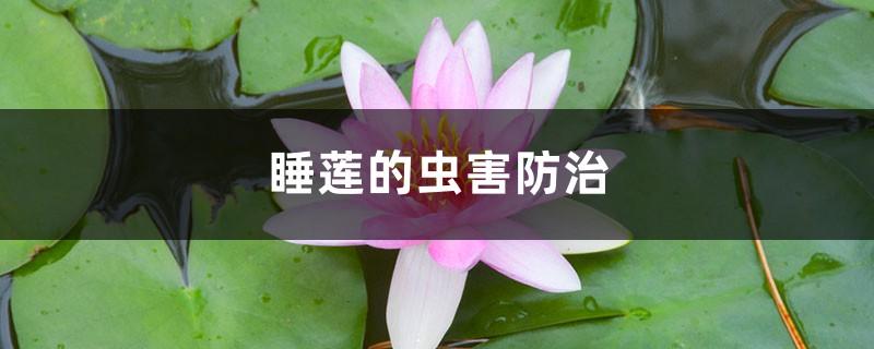 睡莲的虫害防治