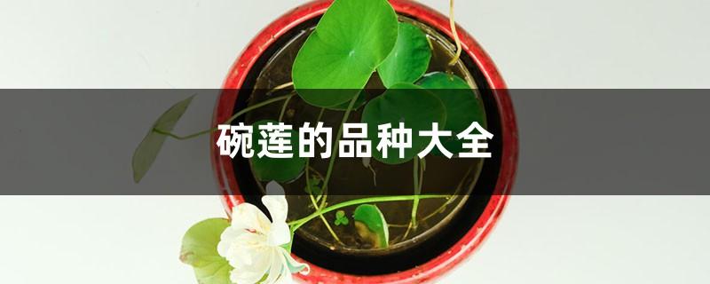 碗莲的品种大全