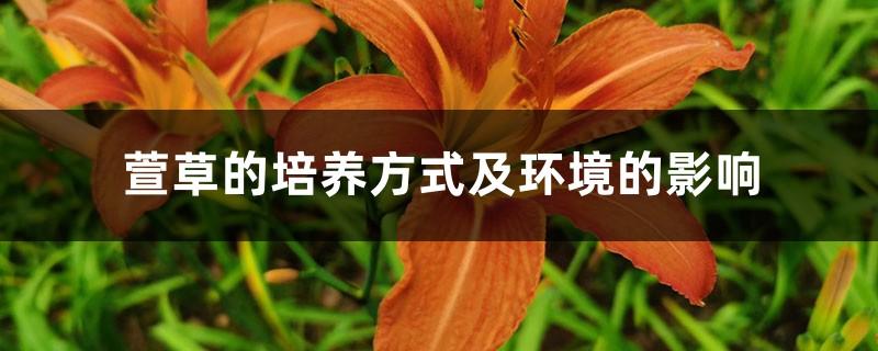 萱草的培养方式及环境的影响