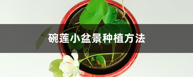 碗莲小盆景种植方法