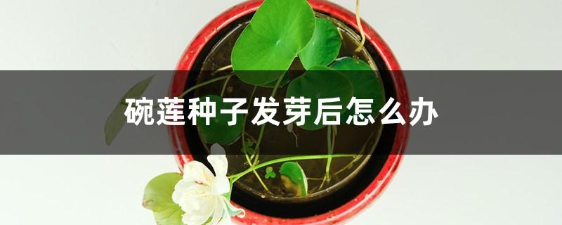碗莲种子发芽后怎么办