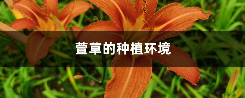 萱草的种植环境