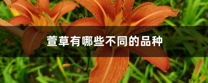 萱草有哪些不同的品种